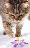 European cat in the snow Stock Photography