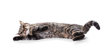 European cat Royalty Free Stock Images