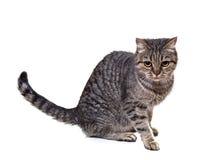 European cat Stock Image