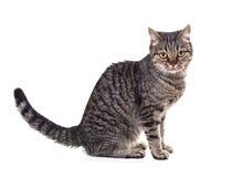 European cat Stock Photo