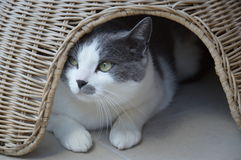 European cat white and grey Stock Images