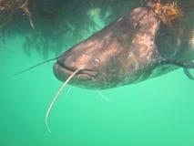 European Catfish royalty free stock images