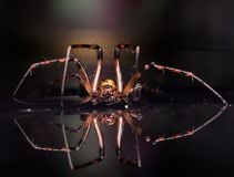 European cave spider Meta Menardi 2 Royalty Free Stock Photos