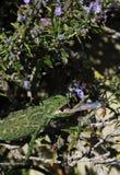 European Chameleon feeding Royalty Free Stock Photos