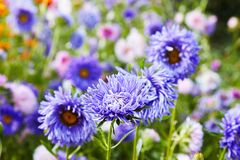 European chamomile Michaelmas Aster amellus. Aster. Bright blue flower aster closeup. Nature. Bouquet of Flowering Callistephus chinensis. Lush fresh blue royalty free stock image