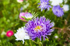 European chamomile Michaelmas Aster amellus. Aster. Bright blue flower aster closeup. Nature. Bouquet of Flowering Callistephus chinensis. Lush fresh blue royalty free stock photo