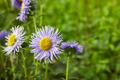 European chamomile Michaelmas Aster amellus. Aster. stock photography