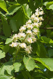 European Chestnut Flowers Stock Photo