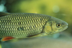 European chub Stock Photography