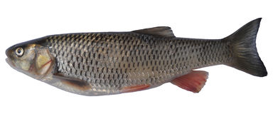 European chub on white. Cropped photo of fish european chub (Squalius cephalus) species of freshwater fish in the carp family Cyprinidae, close up Stock Images