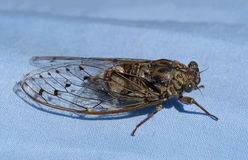 European Cicada landed on my husband's shirt! Royalty Free Stock Photo