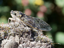 European Cicada macro on moss. Closeup, great detail. European insect Stock Photography