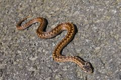 European classic poison snake Royalty Free Stock Photos