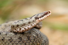 European common berus viper close up Stock Photography