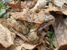 European Common Brown frog. Grass frog in autumn leafs. Perfect example of camouflage in leafs. Photo taken in Jozefow near Mienia river. Poland Royalty Free Stock Photos