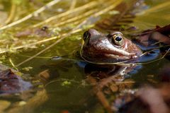 European common brown frog Stock Images