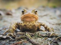 European Common Brown Frog Stock Photos