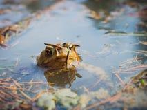 European Common Brown Frog Royalty Free Stock Photo