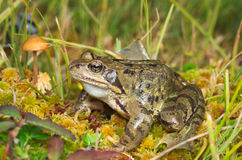 European common brown frog (Rana temporaria) Royalty Free Stock Image