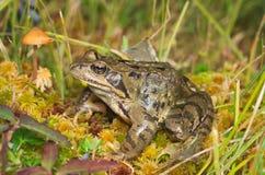 European common brown frog (Rana temporaria) Stock Photos