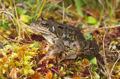 European common brown frog (Rana temporaria) Royalty Free Stock Photography