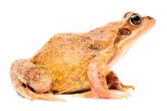 European common brown grass frog stock photo