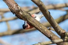 Common bullfinch gnaws an icicle from frozen tree juice stock image