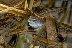 European Common Frog (Rana temporaria) in blue wed. Czech Republic stock images