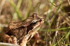 European common frog, Rana temporaria. A European common frog, Rana temporaria, in a meadow royalty free stock image