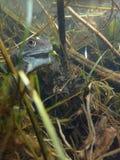 European or common frog, Rana temporaria, underwater. Blackford Pond, Edinburgh. European or common frog, Rana temporaria, submerged in a pond surrounded by stock photo