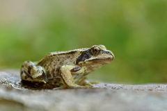 European Common Frog Stock Image