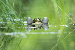 European common frog Stock Photography