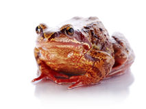 European common frog Stock Images