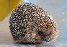 European common hedgehog Stock Image
