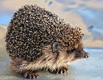 European common hedgehog Stock Photography