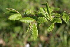 European or common hornbeam. (Carpinus betulus Stock Image