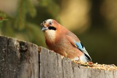 European common jay at feeder Royalty Free Stock Image