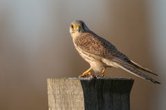 European common Kestrel Royalty Free Stock Images