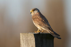 European common Kestrel Stock Photo