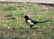 The European (Common) Magpie (Pica pica). The European Magpie (Common Magpie) sitting on the ground with food Stock Photography
