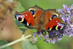 European Common Peacock Butterfly Royalty Free Stock Images