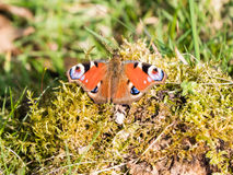 European Common Peacock Butterfly Stock Photography