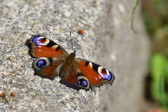 European Common Peacock Butterfly Royalty Free Stock Image