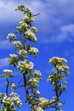 European or common pear, pyrus communis, flowers Stock Photos