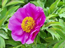 European or common peony (paeonia officinalis) Royalty Free Stock Photo