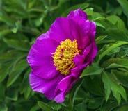 European or common peony, paeonia officinalis Royalty Free Stock Image