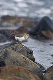 European Common Sandpiper- Actitis hypoleucos stock photos