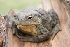 European common toad bufo bufo. Close up to european common toad (bufo bufo Stock Photography