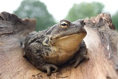 European common toad bufo bufo Royalty Free Stock Images