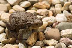 European common toad, bufo bufo outdoor Stock Image